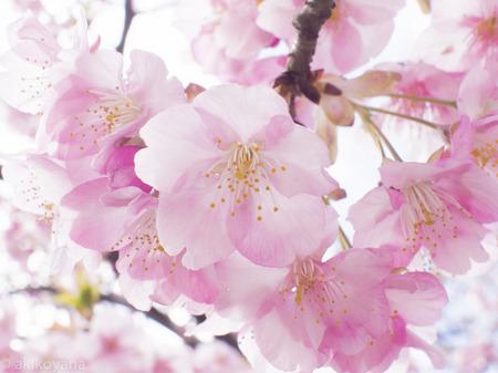 画像 桜.jpg